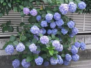 紫陽花2014