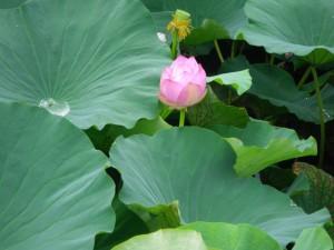 咲きかけの小さな蓮の花