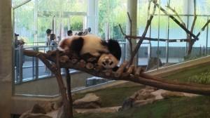 遊具の上でくつろぐパンダ