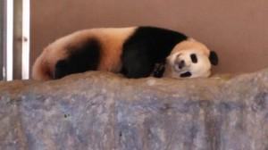 岩の上に寝転ぶパンダ