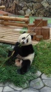 ひとりで遊ぶ子パンダ